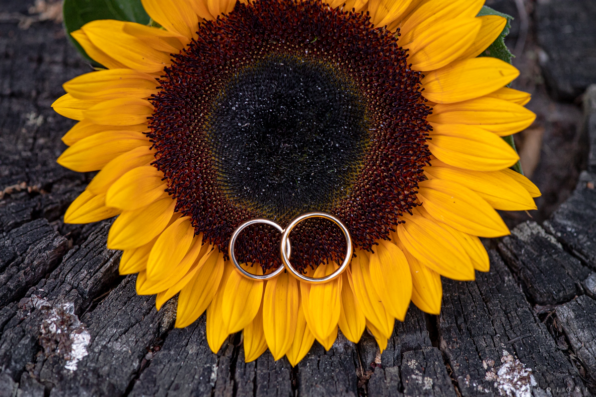 North Fork Sunflower and wedding rings